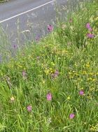 Pyramidal Orchids in Roadside Verge