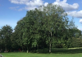 Ash Trees in a Park