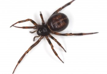 Spiders False Widow Spider Bathnes